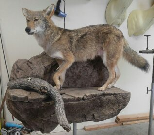 Coyote on ledge
