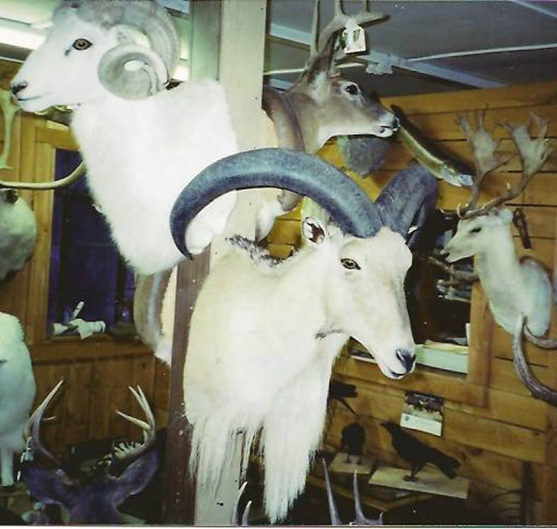 Dall Sheep & Other Goat