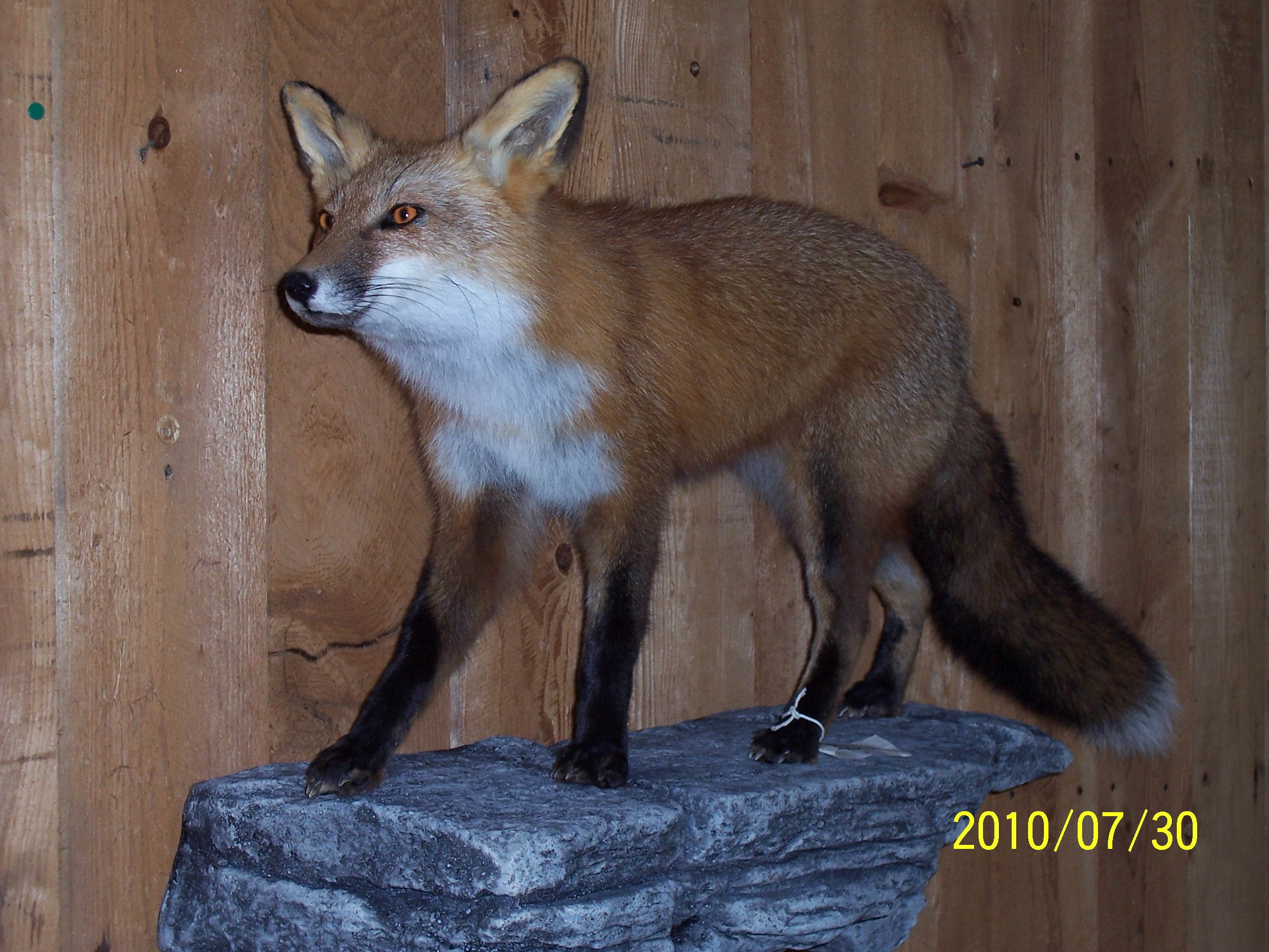 Red Fox on Ledge