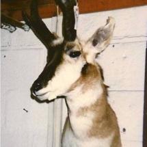 Antelope1
