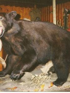 Balck Bear1