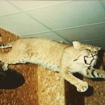 Bobcat leaping from wall