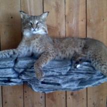 Bobcat on ledge
