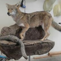 Coyote on ledge