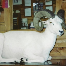 Dall Sheep1