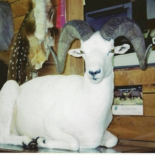 Dall Sheep2