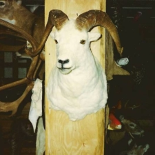 Dall Sheep3