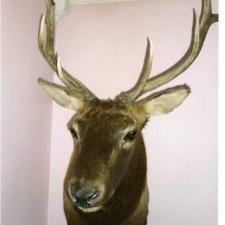 Emery Smith Elk mounted