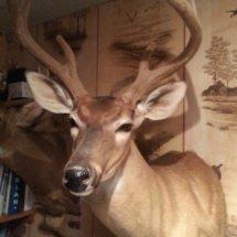 Frank Bogumil Whitetail in Velvet