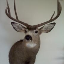 Jude Allen Mule Deer