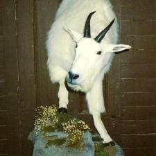MT Goat half mt