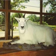 MT Goat1