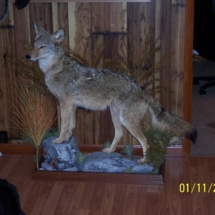 Mark Mitchko Coyote