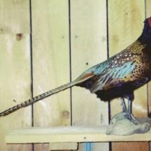 Pheasant3