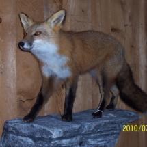 Red Fox on Ledge