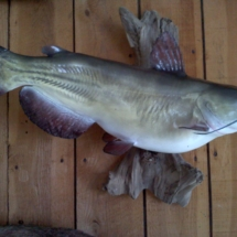 Reproduction Channel Catfish