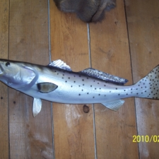 Reproduction Sea Trout