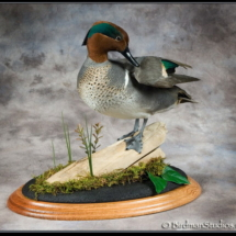 green_wing_teal[1]
