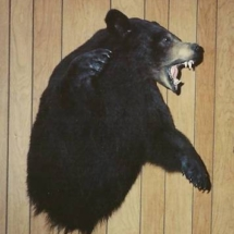 half mount black bear