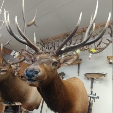John Champ Colorado Elk
